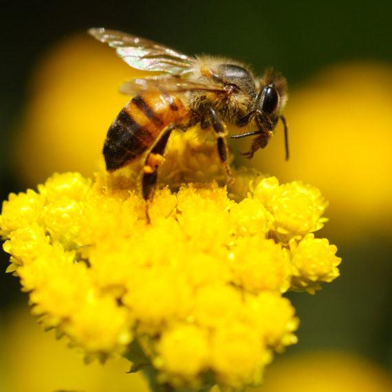 Bees / Wasps